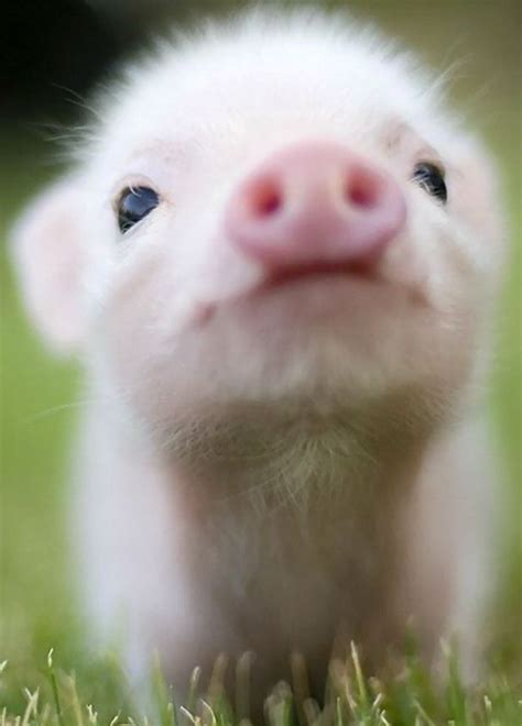 17 Best ideas about Teacup Pigs on Pinterest   Baby pigs