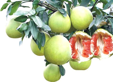 Wholesale Fruit Trees - online buy wholesale pomelo tree from china pomelo tree wholesalers aliexpress com