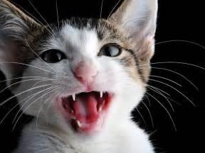 cat talk 10 reasons cats meow petfinder