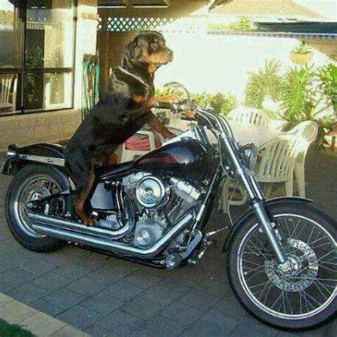 rottweiler motorcycle pin by michele on rottweilers them