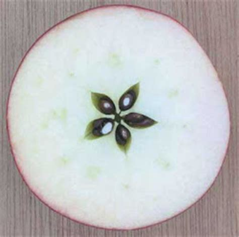 cross section of an apple apple blossom
