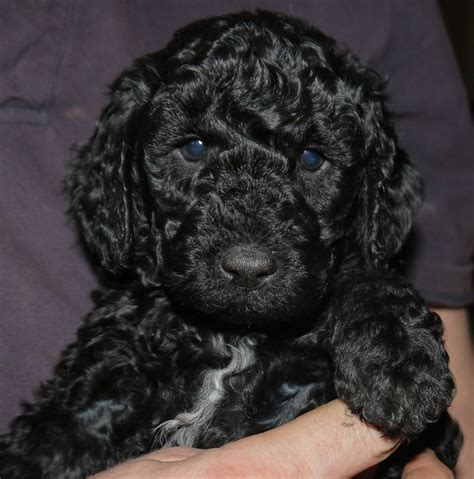 poodle puppies for sale gorgeous miniature poodle puppies for sale glasgow lanarkshire pets4homes