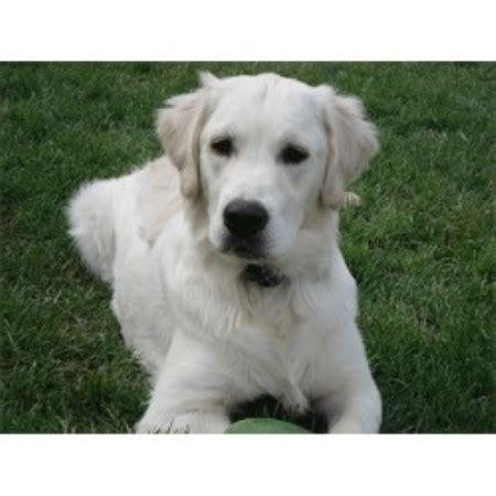 golden retriever puppies il charisgoldens golden retriever breeder in peoria illinois