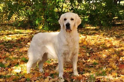 are there different types of golden retrievers golden retriever breed 187 information pictures more