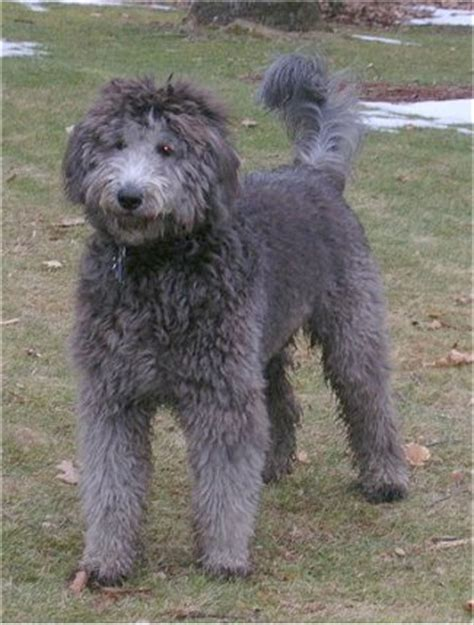 doodle name kyla goldendoodles dogs and puppies wiki fandom powered by