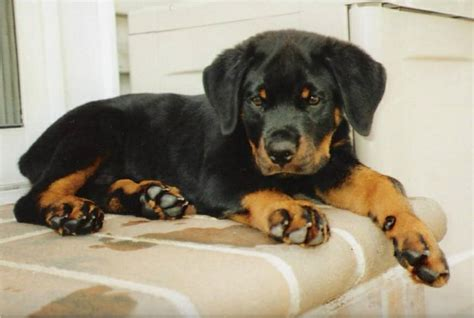 rottweiler 1 month pictures of rottweilers we sold