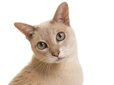 Tonkinese   Information, Health, Pictures & Training Pet Paw