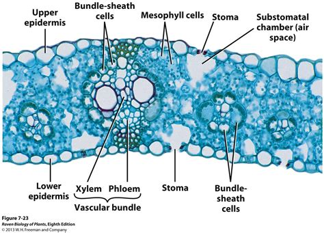 monocot leaf cross section labeled pics for gt monocot leaf cross section labeled