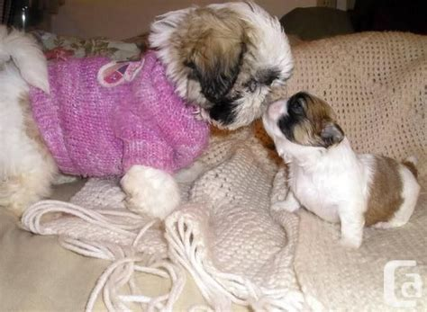 shih tzu puppies sacramento pin by gesumaria on shih tzus