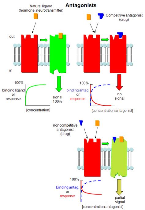 partial biography definition c6 agonist and antagonist of ligand binding to receptors