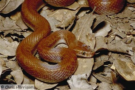 african house snake the african house snake www resources