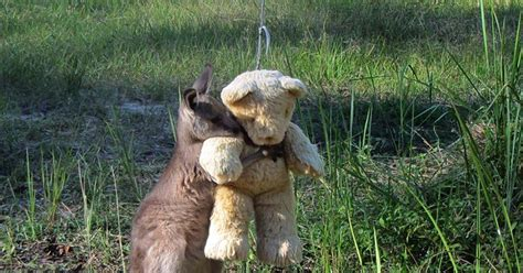doodlebug orphaned baby kangaroo orphan kangaroo clings to new best friend a teddy