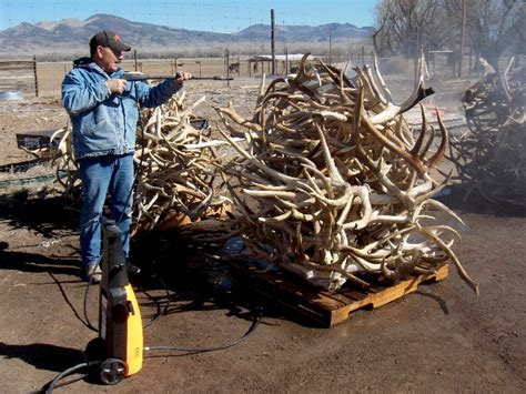 are antlers safe for dogs yellowstone elk antler chews