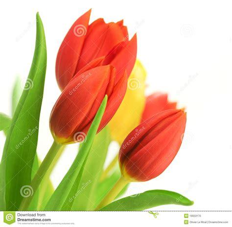 rossi bianco tulipani rossi sopra bianco fotografia stock immagine