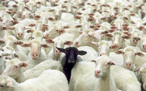 black sheep this or that baa baa black sheep the teri tome