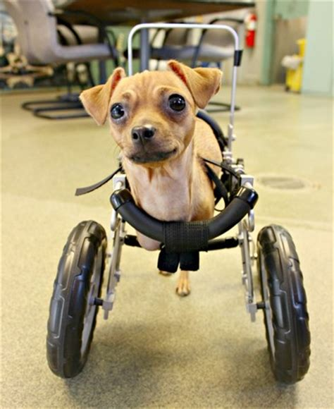 wheelchair for front legs born with no front legs gets wheelchair kgun9