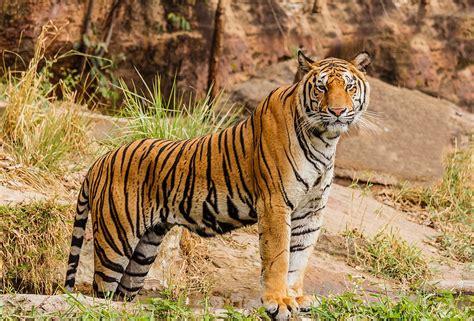 tiger biography in english panthera wikipedia