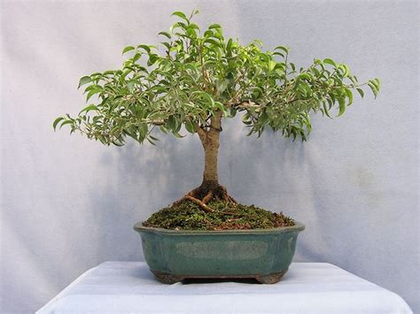 Ficus Benjamin Cura by Bonsai Ficus Benjamin Cura Bonsai Coltivare Bonsai Ficus