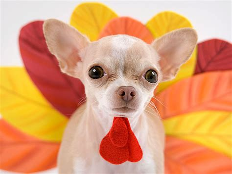 can you give dogs turkey infographic which thanksgiving foods are okay to give your
