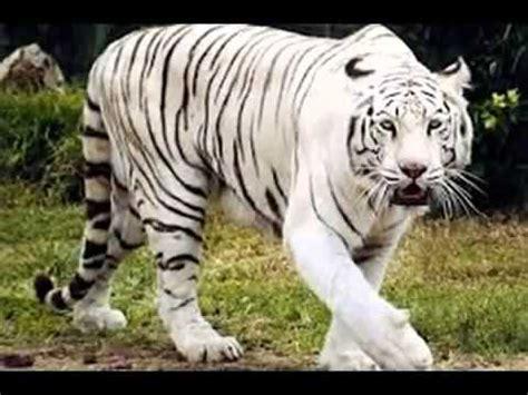 imagenes de animales naturaleza 16 animales en peligro de extincion animales y