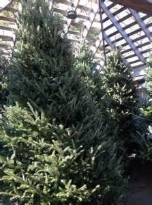 christmas trees wreaths and greens fragrant and