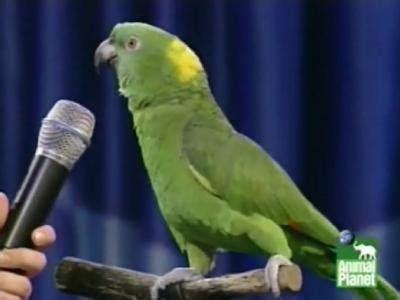 talking parrot weneedfun