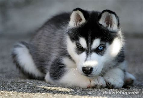 how many puppies can a husky 40 siberian husky puppies pictures and fur
