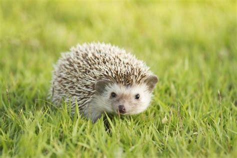 pygmy hedgehog 14 times pygmy hedgehogs proved they are way cuter