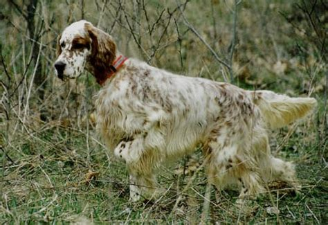 miss ali english setter dog breeds 238 best dogs english setter engelse images on pinterest