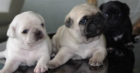 fawn colour pug black fawn white pug puppies colors pug and puppys