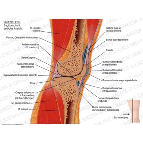 lateral section pin anatomie du genou on pinterest
