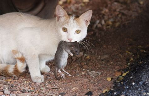 cat rat the biomimicry manual what can parasites teach us about zombies cat with rat