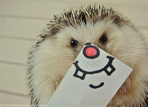 cute baby hedgehog smiling cute hedgehog smiling images