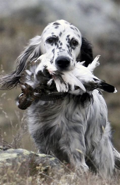 english setter bird dog kennels 17 best images about english setters bird dogs on