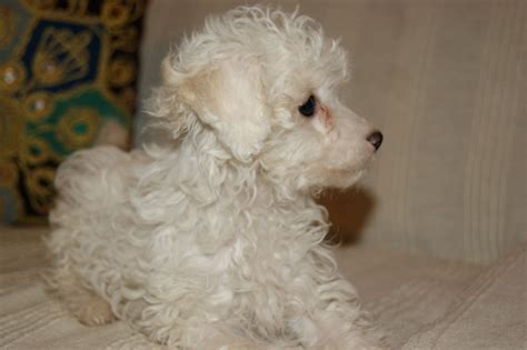 poodle puppies for sale in beautiful poodle puppies for sale west pets4homes