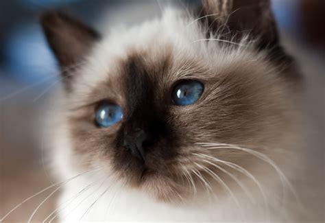 los das de birmania 8483466570 gatos de raza sagrado de birmania