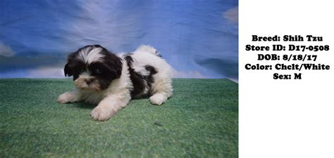 shih tzu for sale ny puppies for sale ny puppies for sale