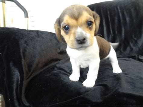beagle puppy for sale previous pocket beagle puppy litters for sale pocket beagles mini beagle puppies