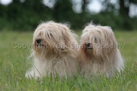 bolognese havanese bichon frise and maltese pictures breeds picture