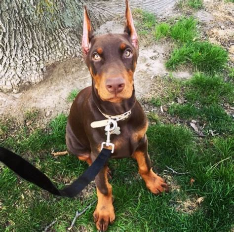 doberman puppies for sale in 25 best ideas about doberman breeders on doberman pinscher doberman