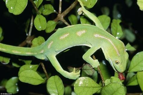 gecko change color geckos nature s masters of disguise news article