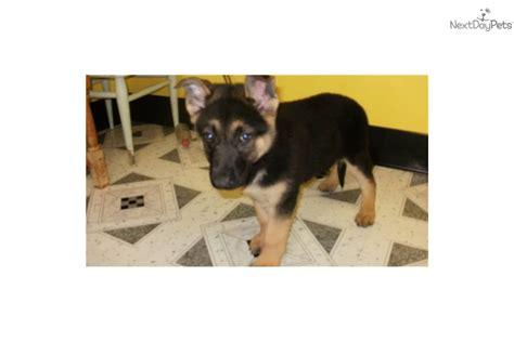 german shepherd puppies for sale in chicago german shepherd puppy for sale near chicago illinois 08dca649 df11