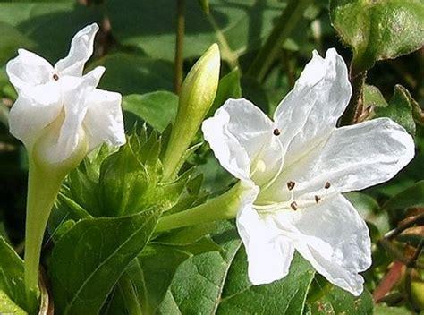 Bungabiji Mirabilis Jalapa Bunga Pukul 4 Bunga Terompet bunga ashar kembang pukul empat alamendah s