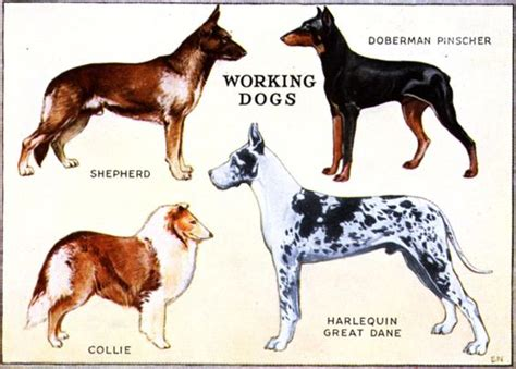 working breeds working dogs working dogs working dogs and products