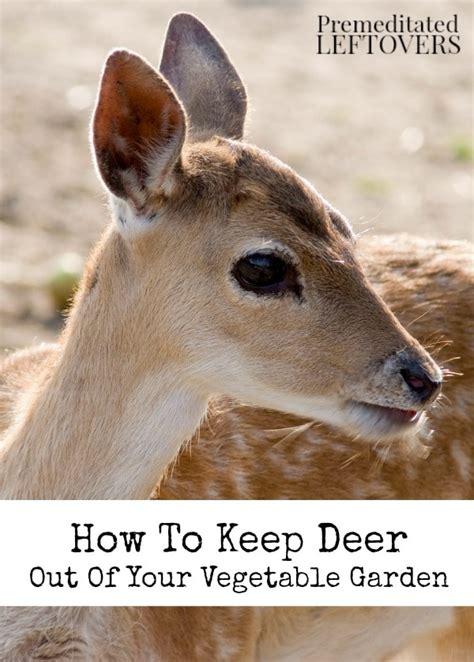How To Keep Deer Out Of Your Vegetable Garden How To Keep Deer Out Of Vegetable Garden