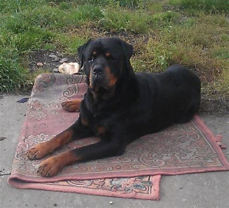 8 year rottweiler denver 8 year rottweiler for adoption