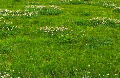 Klee Im Rasen Entfernen 4199 by Klee Im Rasen Entfernen Startseite Design Bilder