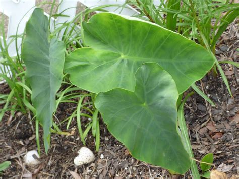 problems with elephant ear plants do elephant ears affect nearby plants