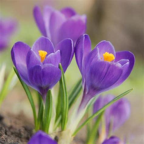 Crocus Plante Vivace Ou Annuelle by Fleurs Rustiques Liste Ooreka