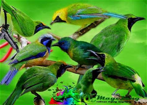 download mp3 gratis suara cucak ijo download mp3 suara burung cucak hijau atau cucak ijo